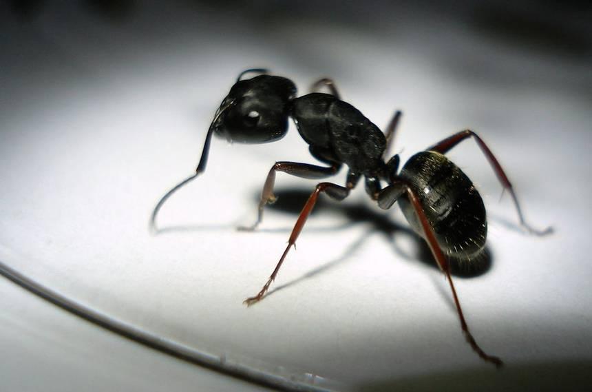 Pesky Ants